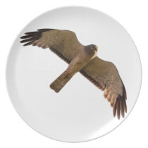 A Northern Harrier soars overhead Dinner Plate