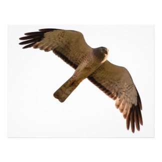 A Northern Harrier soars overhead Letterhead