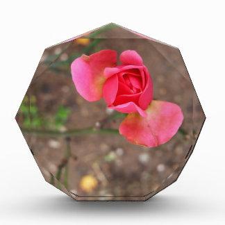 A November rosebud Acrylic Award