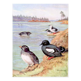 A Painting of Rhinoceros Auklets and Pigeon Uuille Postcard