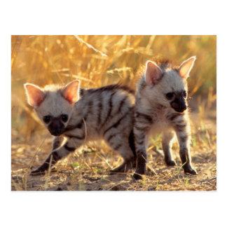 A pair of Aardwolf cubs at play Postcard