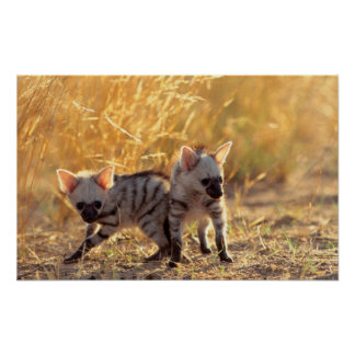 A pair of Aardwolf cubs at play Poster