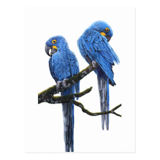 A pair of bright blue Hyacinth Macaws Postcard