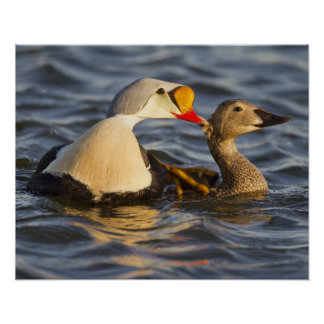 A pair of courting king eiders in a tundra pond poster