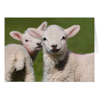 A pair of cute young lambs. card