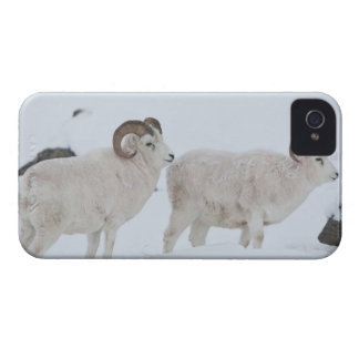 A pair of Dall sheep rams look up from grazing Blackberry Cases
