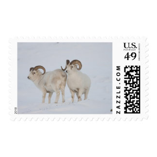 A pair of Dall sheep rams survey each other Stamp