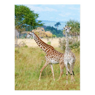 A Pair of Giraffes in the Mikumi National Park Postcard