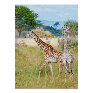 A Pair of Giraffes in the Mikumi National Park Poster