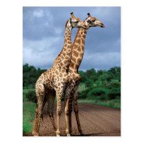 A Pair Of Giraffes On Road, Kruger National Postcard
