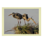 A Pair of Great Blue Herons in their  Nest Posters