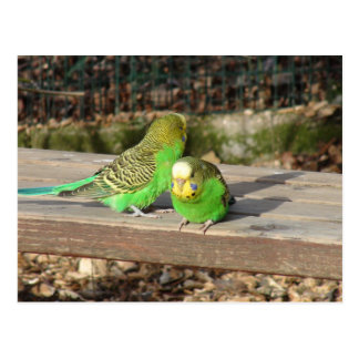 A Pair of Green Budgies on a wooden bench Postcard