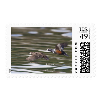 A pair of harlequin ducks take flight postage stamp