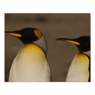 A pair of King Penguins (Aptenodytes p. Poster