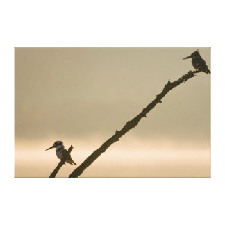 A Pair Of Pied Kingfishers (Ceryle Rudis) Canvas Print