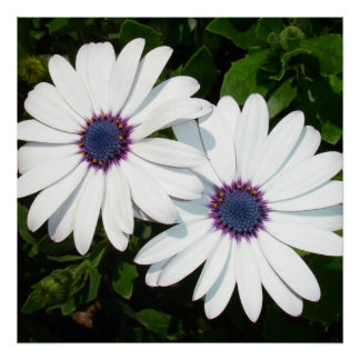 A Pair of Pristine White African Daisies Poster