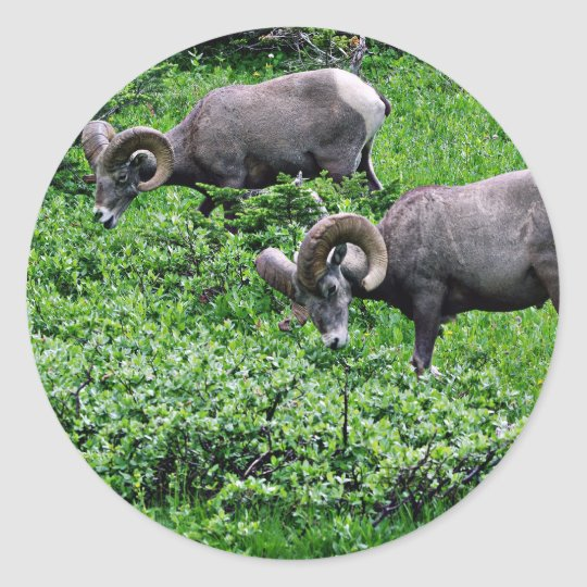 A Pair of Rams Grazing Classic Round Sticker