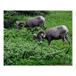 A Pair of Rams Grazing Poster
