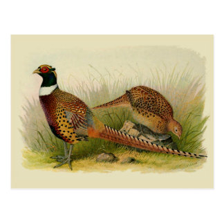 A pair of Ring necked pheasants in a grassy field Postcard
