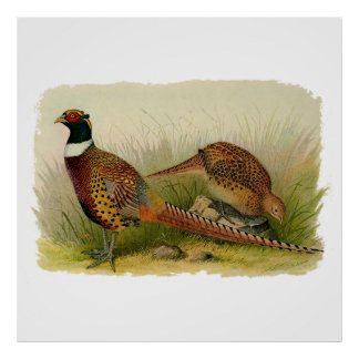 A pair of Ring necked pheasants in a grassy field Print
