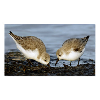 A Pair of Sanderlings Shares Business Card