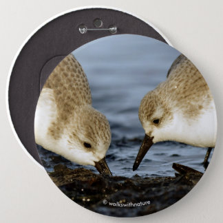 A Pair of Sanderlings Shares Button