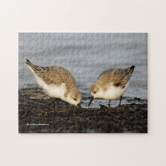 A Pair of Sanderlings Shares Jigsaw Puzzle
