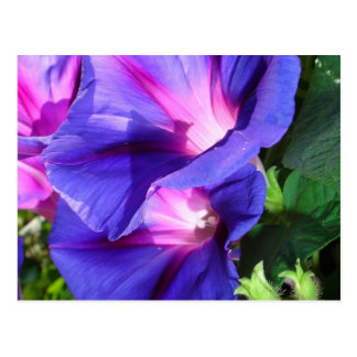 A Pair of Vibrant Morning Glories In Full Bloom Postcard