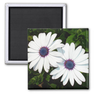 A Pair of White African Daisies Fridge Magnets