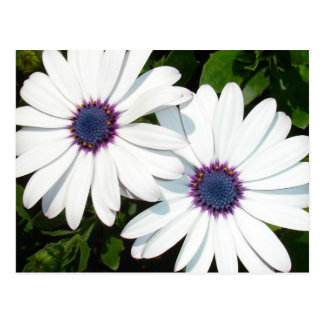 A Pair of White African Daisies Postcard