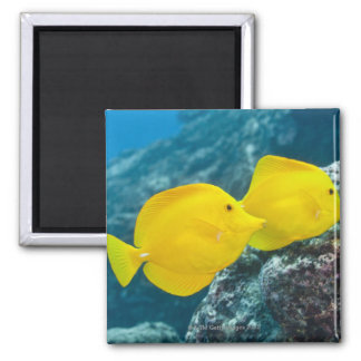 A Pair of Yellow Tangs Magnet