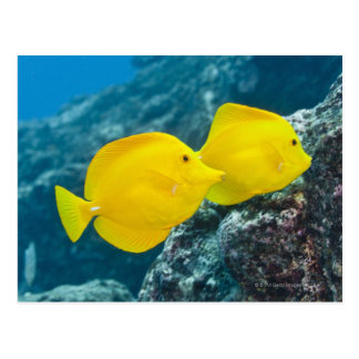 A Pair of Yellow Tangs Postcard