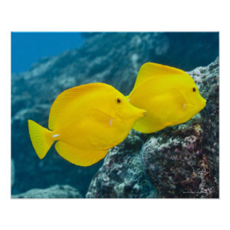 A Pair of Yellow Tangs Posters