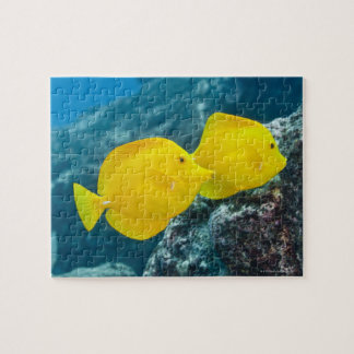 A Pair of Yellow Tangs Jigsaw Puzzles