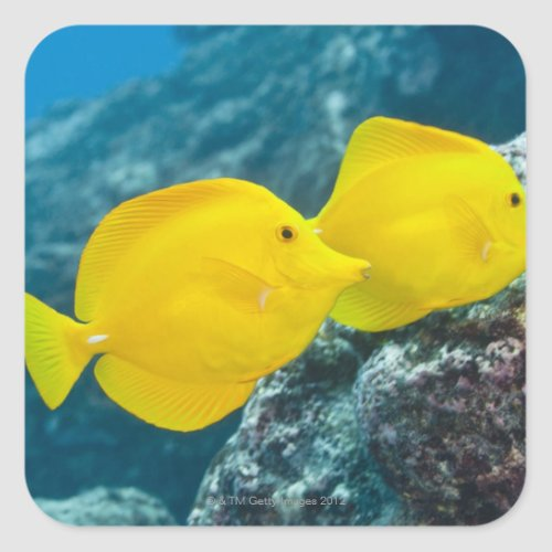 A Pair of Yellow Tangs Square Sticker