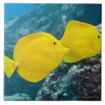 """A Pair of Yellow Tangs Tile<br><div class=""""desc"""">Underwater life; FISH: A Pair of Yellow Tangs (Zebrasoma flavescens) swimming over a tropical coral reef.  Pacific Ocean,  Hawaii,  USA. 