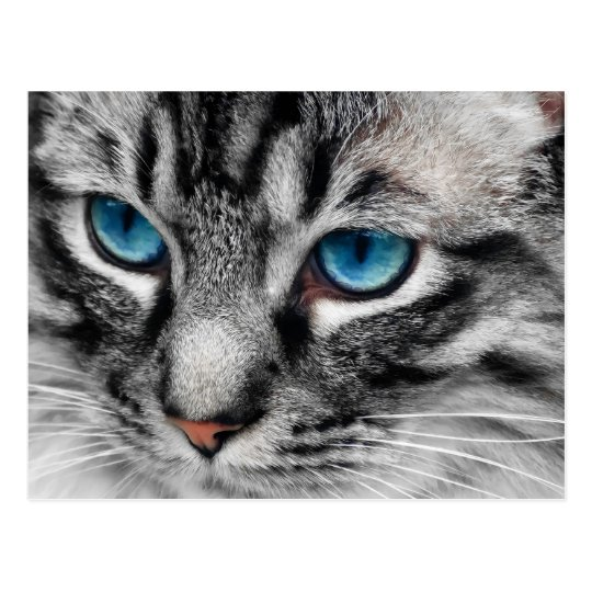 a pal silver tabby cat with blue eyes close up postcard zazzle com