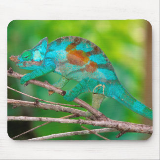 A Parson's Chameleon moving along a branch 2 Mouse Pad