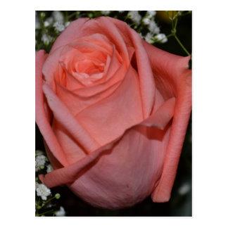 A Peach-Coral Colored Rose Postcard