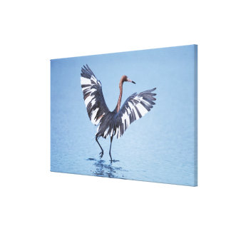 A pecular hybrid of the dark and white morphs of stretched canvas print
