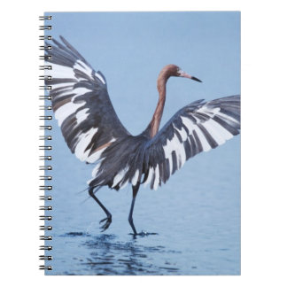 A pecular hybrid of the dark and white morphs of notebook