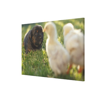 A Pekinese puppy on the grass. Canvas Print