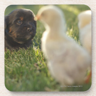 A Pekinese puppy on the grass. Drink Coaster