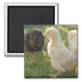 A Pekinese puppy on the grass. Magnet