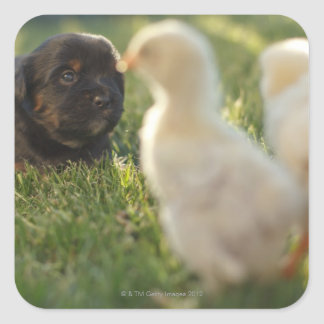 A Pekinese puppy on the grass. Square Sticker