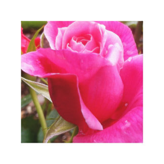 A Perfect Deep Pink English Rose Canvas Print