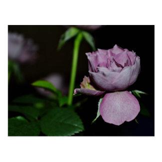 A Petal of a Rose Post Card