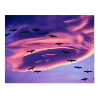 A photo composite of Sandhill cranes in flight Postcard