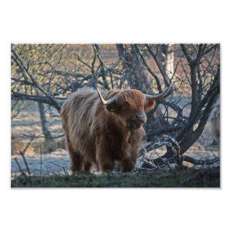 A photograph of a Highland Cow.