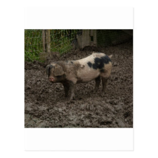 A pig in muck postcard